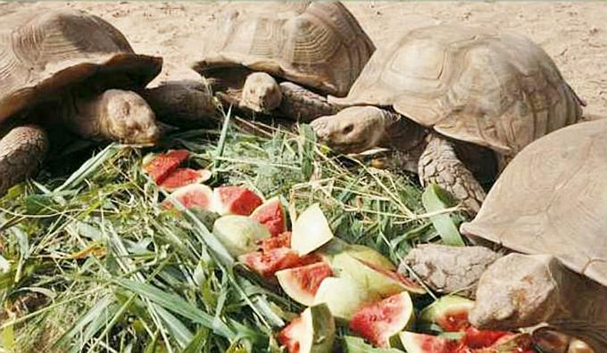 Young Sulcata Tortoises in the Tortoise Village in Noflaye