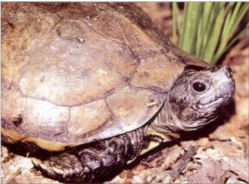 The Arakan Forest Turtle (Heosemys depressa)