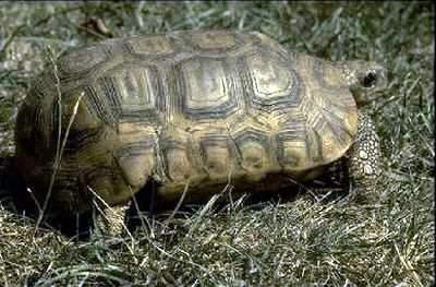 Home S Hingeback Tortoise Care