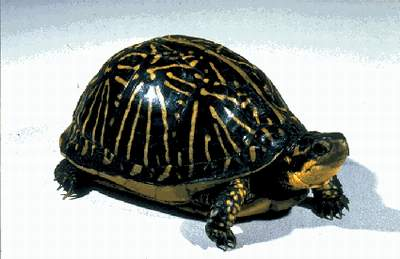 The Florida Box Turtle (Terrapene carolina bauri)