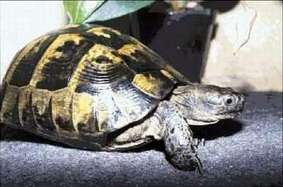 Asia Minor Spur-thighed Tortoise