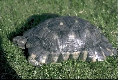 care of the marginated tortoise testudo marginata