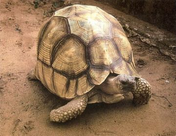 The Angonoka or Ploughshare Tortoise of Madagascar (Geochelone yniphora)