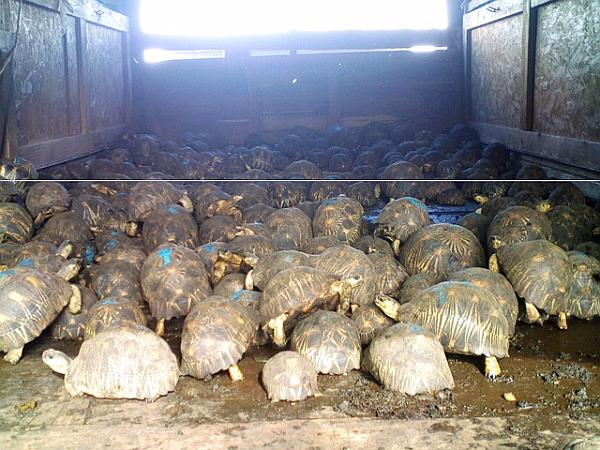 Rescued Radiated Tortoises