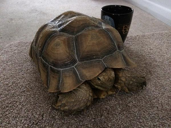 9 Year old Sulcata