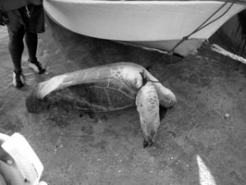 An adult female green turtle awaiting butchery after being caught by lobster fishermen in the Turks & Caicos Islands.