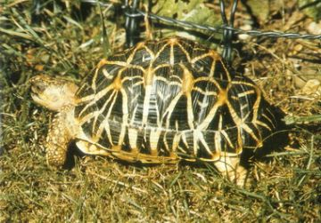 Fig.5: Indian star tortoise Geochelone elegans. (Photo by Vic Merrill)