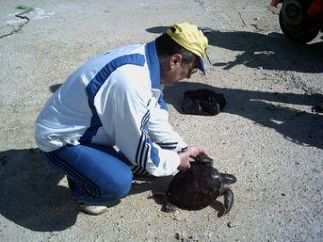 caretta mature singles Natal homing in juvenile loggerhead turtles (caretta caretta)  sampling within a single 11-day interval females may nest several times in a nesting season,.