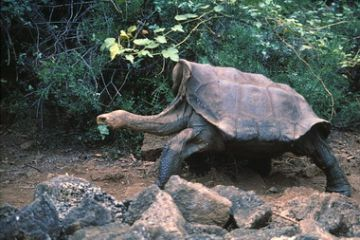 Lonesome George.