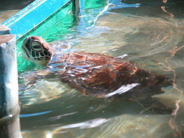 Green turtle in captivity.