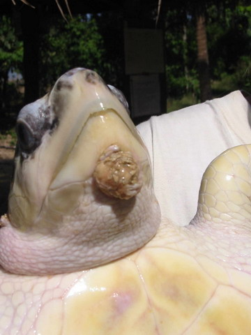 Callus on olive ridley turtle head-started in captivity in cement tank for 3 years.
