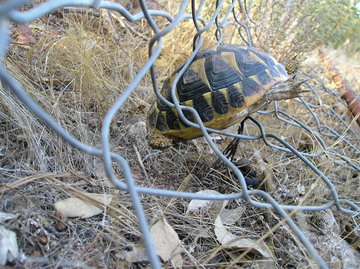Photo 3. A Hermann's tortoise entangled in wire fencing.