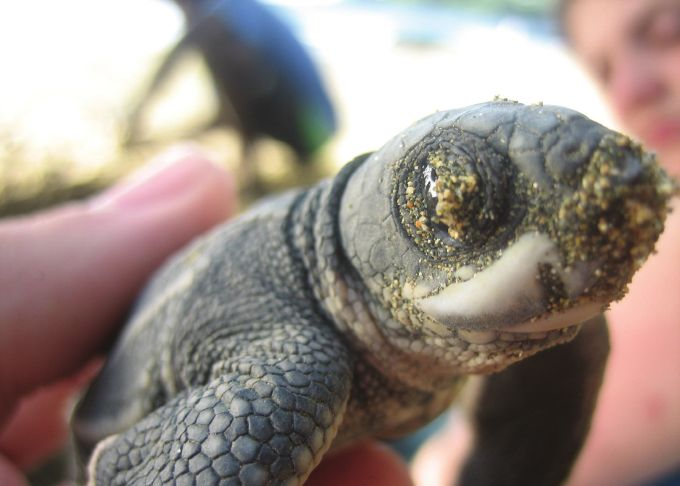Figure 5. Leatherback hatchling less than one hour old.