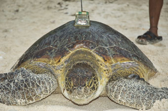 Fig 4. (a) First nesting green turtle fitted with a satellite transmitter on Gielop Island in 2005.