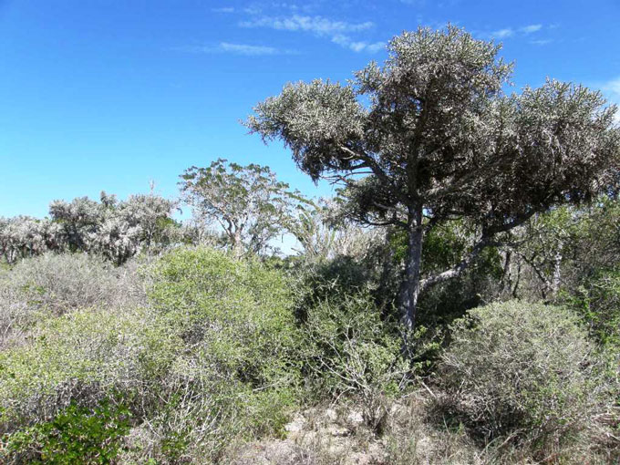 Fig. 3. (a) Coastal Dry Forest, south west Madagascar. (b) <I>P.a. brygooi</I> in situ. <I>Photos by R.C.J. Walker.</i>