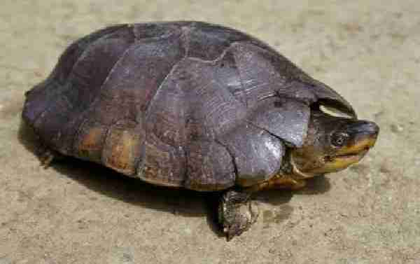 Fig. 1. The criticaly endangered Philippine forest turtle Siebenrockiella leytensis.