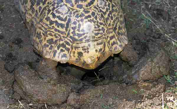 THE LEOPARD TORTOISE STIGMOCHELYS (= GEOCHELONE) PARDALIS OF