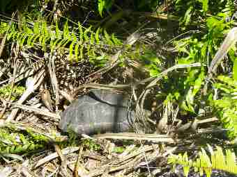 Fig. 14. Tortoise hidden in dense vegetation on the hill of North island, tortoise in the foreground.
