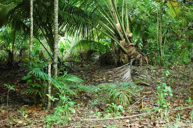 Fig. 4. Coconut woodland at Grande Barbe modified into open areas with endemic palm and tree seedlings (in foreground) by Arnold's giant tortoises.