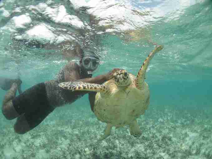 Fig. 4. Free-diver capturing a large juvenile hawksbill turtle (CCLmin=59.7cm) within the lagoon habitat.