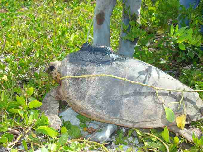 Fig. 3. Hawksbill nesting female tagged with a satellite transmitter in Saona in 2009 by the project team.