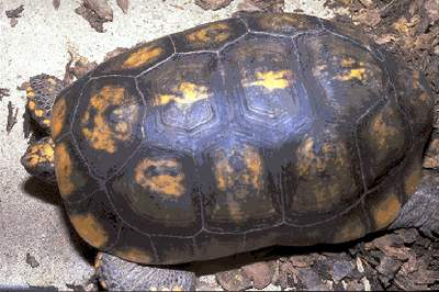 THE YELLOW-FOOTED TORTOISE (Geochelone denticulata